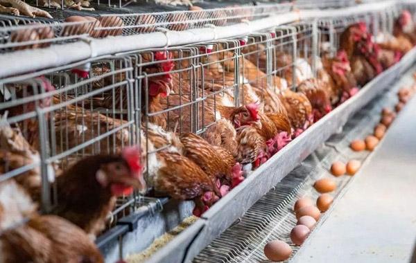 投资山鸡养殖需要考虑的几点
